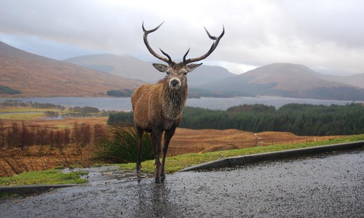 Loch-Ness-Lodge-Hotel-Leisure-Activities-Wildlife-Stag